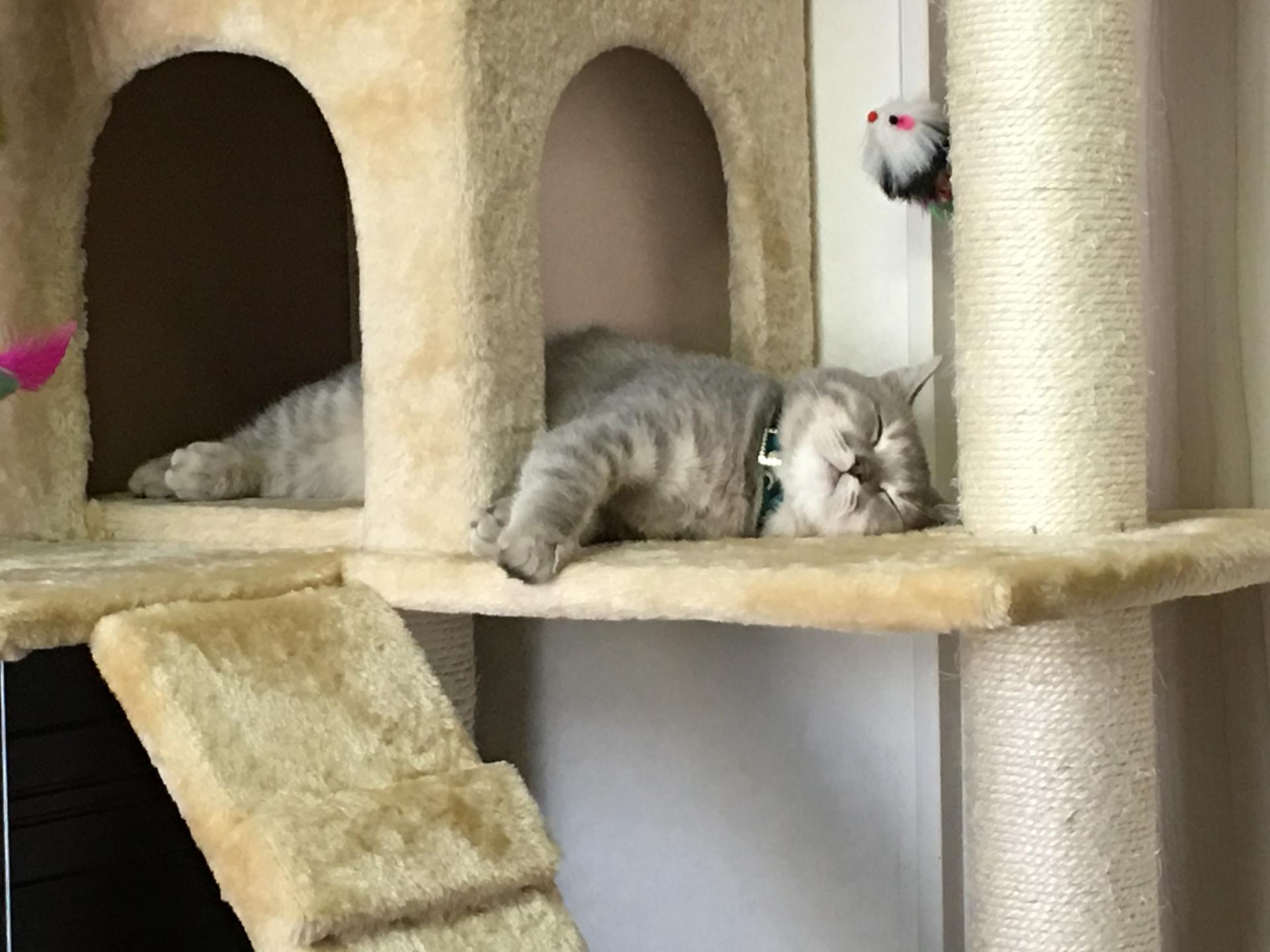猫カフェ経由で猫の里親になれるの?その方法と手順は?