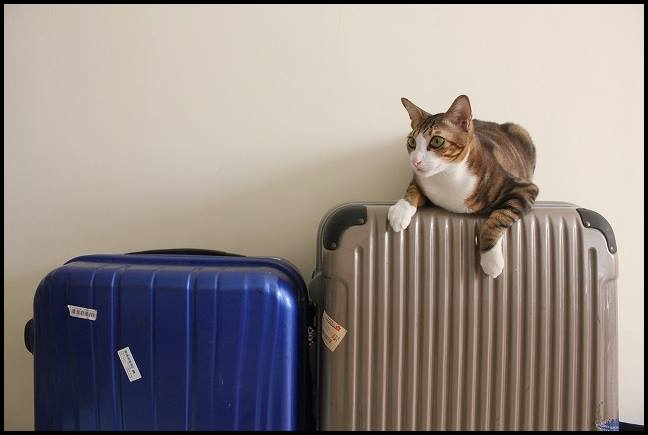 猫と正月に飛行機で帰省できる?予約や料金は?キャリーの選び方は?