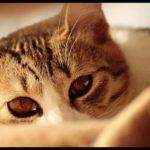 猫が人見知りする原因と直す方法は?隠れたり威嚇する時の対策は?