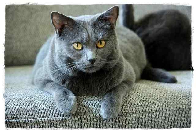 シャルトリューってどんな猫?性格・特徴・歴史・飼い方は?