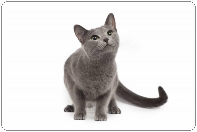 グレーの猫の種類は?性格・特徴・飼い方・入手方法まとめ!
